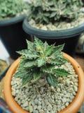 从madagasca的大戟属tulearensis罕见的植物 免版税库存图片