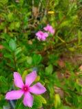 MADAGASCA barwinka menchii kwiaty Obrazy Stock