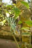 Madagascan桔子被注视的变色蜥蜴 免版税图库摄影