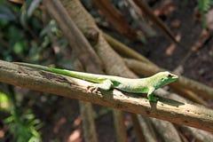 Madagascan daggecko på en filial arkivbilder