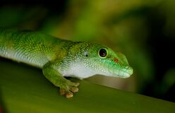 Madagascan Day Gecko. Royalty Free Stock Photos