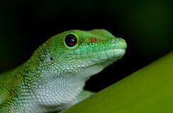 Madagascan Day Gecko Royalty Free Stock Images
