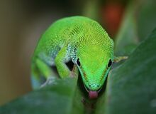 Madagascan Day Gecko Royalty Free Stock Photo