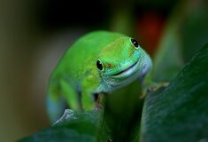 Madagascan Day Gecko (10) Royalty Free Stock Photography