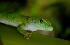 Madagascan Day Gecko (8) Stock Photo