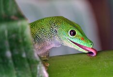 Madagascan Day Gecko (9) Royalty Free Stock Image