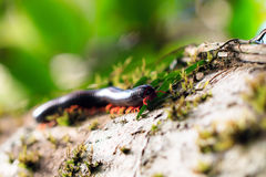 Madagascan Fire Millipede Royalty Free Stock Photo