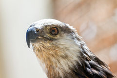 The Madagascan fish eagle close up Royalty Free Stock Photography