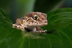 Madagascan Ground Gecko (Paroedura Pictus) stock photography