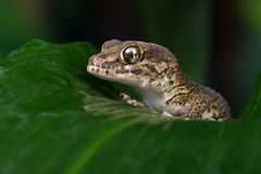 Madagascan Ground Gecko (Paroedura Pictus) royalty free stock image