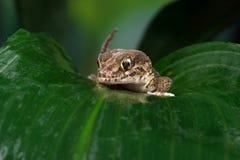 Madagascan Ground Gecko (Paroedura Pictus) royalty free stock photography