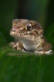 Madagascan Ground Gecko (Paroedura Pictus) Stock Images