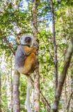 Madagascan lemur ściska drzewa obraz stock