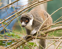 Madagascan Lemur Stock Photography