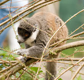 Madagascan Lemur Stock Images