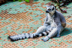 Madagascan lemur Stock Photos