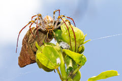 Madagascan Lynx spider Royalty Free Stock Photo