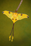 Madagascan moon moth Royalty Free Stock Photos