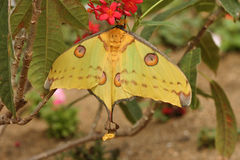 Madagascan Moon Moth Royalty Free Stock Images
