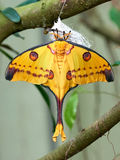 Madagascan moon moth (Argema mittrei) Royalty Free Stock Images
