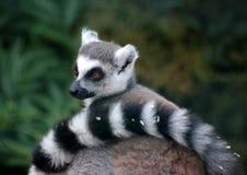 madagascan omslag för lemur Arkivfoto