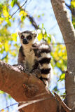 Madagascan ring-tailed lemur Stock Photo