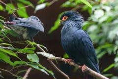 Madagascan slösar duvan med djupt - den röda svansen, blå head iwith en stor röd lapp av kal hud runt om det gula ögat Arkivfoton