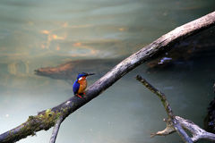Madagascar Kingfisher on the tree Stock Photos