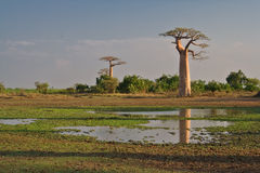 Madagascar. Baobabs in Baobab Avenue, Madagascar Royalty Free Stock Photo