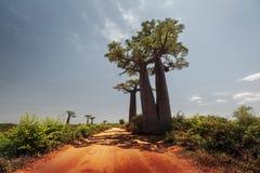 Madagascar. Baobab trees Royalty Free Stock Photo