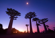 Madagascar. Baobab trees at sunset. Madagascar Stock Photography