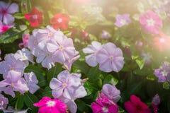 Madagascar barwinka kwiat w ogródzie Obrazy Royalty Free