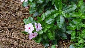 Madagascar barwinka menchii kwiat Zdjęcia Stock