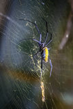 Madagascar black and yellow spider Royalty Free Stock Images