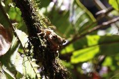 Madagascar Bright-eyed Frog or Madagascan Treefrog (Boophis mada Royalty Free Stock Images