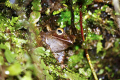 Madagascar Bright-eyed Frog or Madagascan Treefrog Stock Images