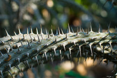 Madagascar cactus. In natural conditions of life Royalty Free Stock Images
