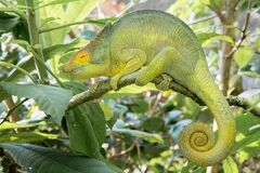 Free Madagascar Chameleon Adapt To Your Environment Royalty Free Stock Image - 182313366