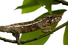 Madagascar Chameleon. Female Furcifer Chameleon in Ramanafana National Park, Madagascar. Forked Grip on branches allow this reptile to move nimbly in the stock photos