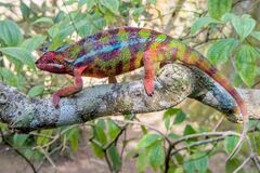 Madagascar chameleon stealthily blending in