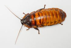 Madagascar cockroach Stock Photography