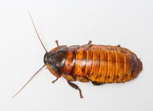 Madagascar cockroach Stock Image