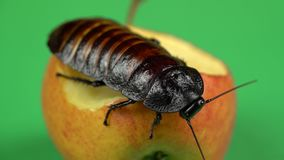 Madagascar cockroach sits on an apple . Green screen. Close up stock footage
