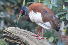Madagascar crested ibis. Standing on the stub Stock Photography