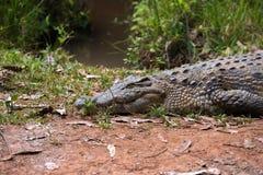 Madagascar Crocodile, Crocodylus niloticus Stock Photography