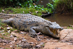 Madagascar Crocodile, Crocodylus niloticus Stock Photo