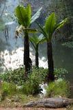 Madagascar Crocodile, Crocodylus niloticus Royalty Free Stock Photography