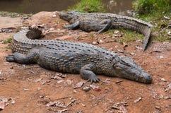 Madagascar Crocodile, Crocodylus niloticus Royalty Free Stock Images
