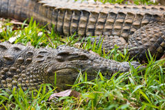 Madagascar Crocodile, Crocodylus niloticus Stock Image