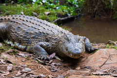 Madagascar Crocodile, Crocodylus niloticus. Big specimen of Madagascar Crocodile, Crocodylus niloticus madagascariensis, Madagascar Vakona Private Reserve Stock Photography